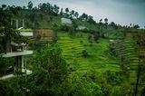 Tea plantation , Java