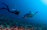 green-turtle-diver-lombok-indonesia-21183520[1]