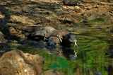 komodo-dragon-komodo-islands-national-park-indonesia-water-30494763[1]